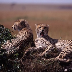 Cheetah wild big picture Image Cheetahs