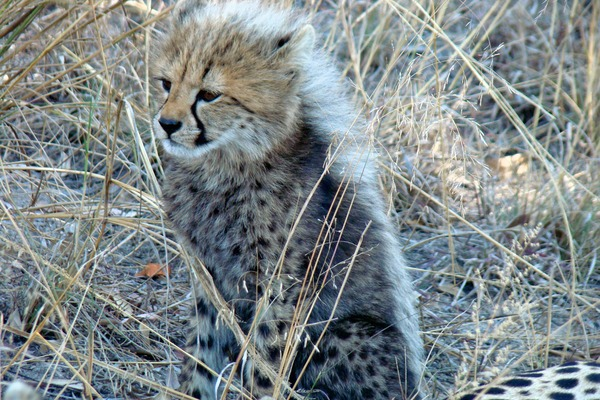 Cheetah young picture Image cub pup kitten