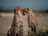 Cheetahs couple kiss picture Image