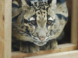 Clouded Leopard Cat Picture Big wild