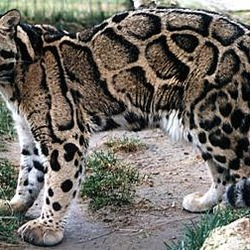 Clouded Leopard Cat Picture Neofelis nebulosa