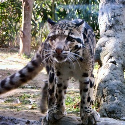 Clouded Leopard Cat Picture Wild Nashville Zoo