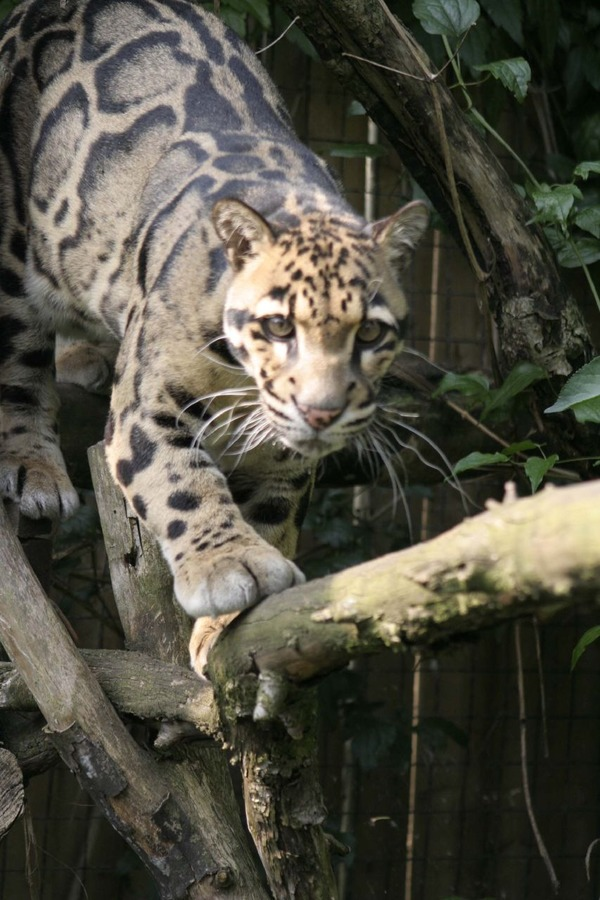 Clouded Leopard Cat Picture climb curious