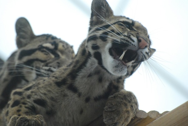 Clouded Leopard Cat Picture cub mad