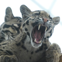 Clouded Leopard Cat Picture kitten teeth roar