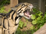 Clouded Leopard Cat Picture mad meow