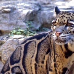 Clouded Leopard Cat Picture pattern endangered