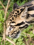 Clouded Leopard Cat Picture portrait face profile