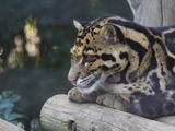 Clouded Leopard Cat Picture profile