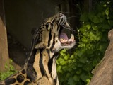 Clouded Leopard Cat Picture roar teeth
