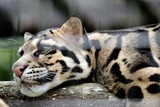 Clouded Leopard Photo Gallery