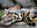 Clouded Leopard Cat Picture sleeping face pattern