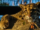 Clouded Leopard Wild Cat Picture portrait