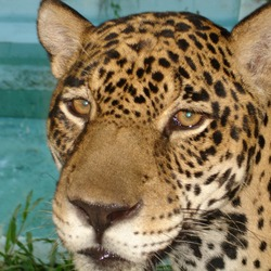 Jaguar Cat Face Picture Onca