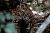 Jaguar Photo Gallery