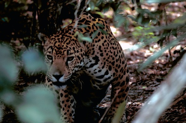 Jaguar Cat Picture  Panthera onca
