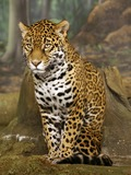 Jaguar Cat Picture  Wild panthara sitting