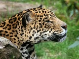 Jaguar Cat Picture Amneville portrait