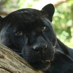 Jaguar Cat Picture Black Panther