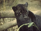 Jaguar Cat Picture Black jaguar