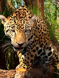 Jaguar Cat Picture Panthera onca Belize Zoo