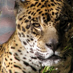 Jaguar Cat Picture Portrait