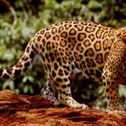 Jaguar Cat Picture Standing curious