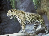 Jaguar Cat Picture Wild Big onca