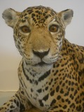 Jaguar Cat Picture cub face pattern