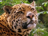 Jaguar Cat Picture face Edinburgh Zoo