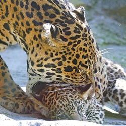 Jaguar Cat Picture mom and cub