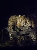 African Leopard Cat Image
