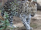 Amur Leopard Cat Image walking