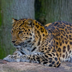 Leopard Cat Image Amur color