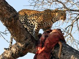 Leopard Cat Image Hunt South Africa kill