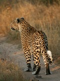Leopard Cat Image Leopard_walking