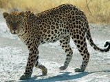 Leopard Cat Image Namibie africa