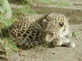 Leopard Cat Image resting sleeping