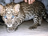 Leopard Cub Kitten Cat Image Baby spotted