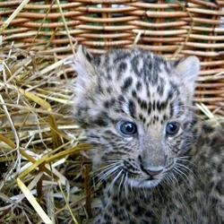 Leopardbaby kitten cub Cat Image