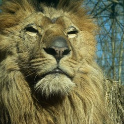 Lion Mane picture photo Eberswalde zoo