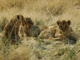 Lion cub family picture photo Namibie