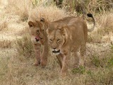 Lion females picture photo Panthera leo