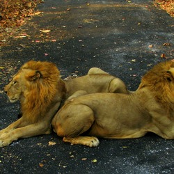 Lion males picture photo India