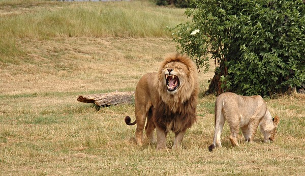 Lion picture photo Pair couple wild