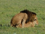 Lion picture photo Panthera leo sex mating