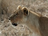 Lion picture photo Serengeti Lioness