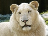 Lion Photo Gallery
