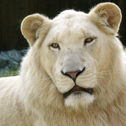 Lion picture photo White_Lion