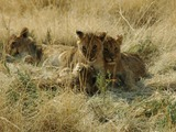 Lion picture photo cub family
